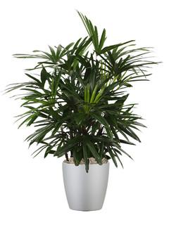Palm Rhapis