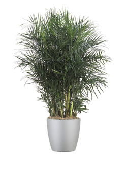 Palm Chamadorea Sefrutzii