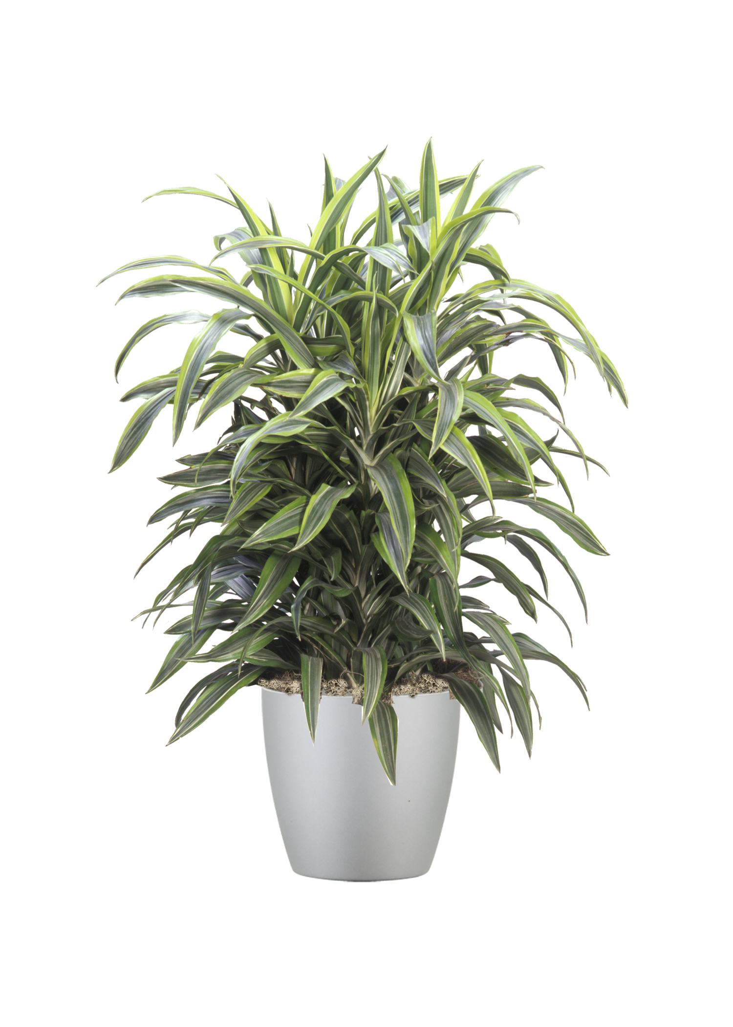 Dracaena Lemon LIme Bush