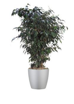 Ficus Benjamina Midnight Bush