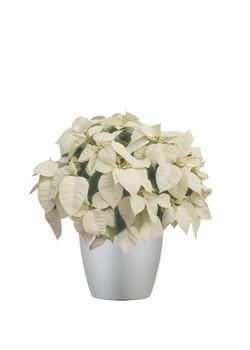 Poinsettia White