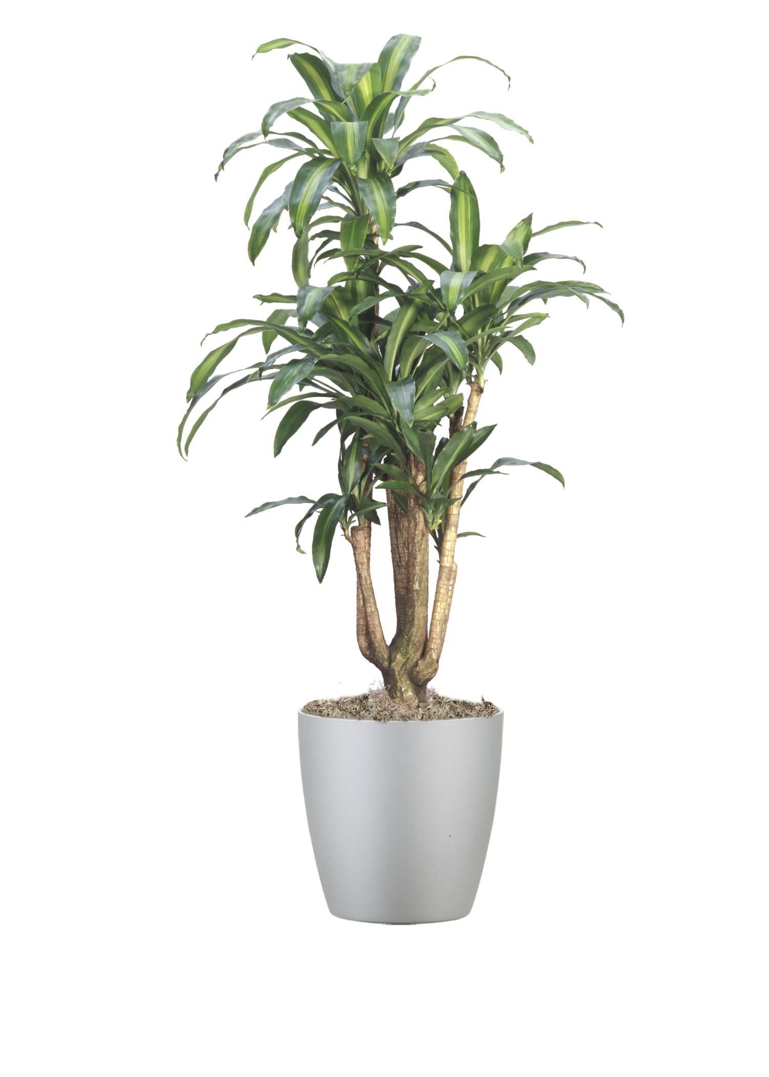 Dracaena Massangeana Stump2