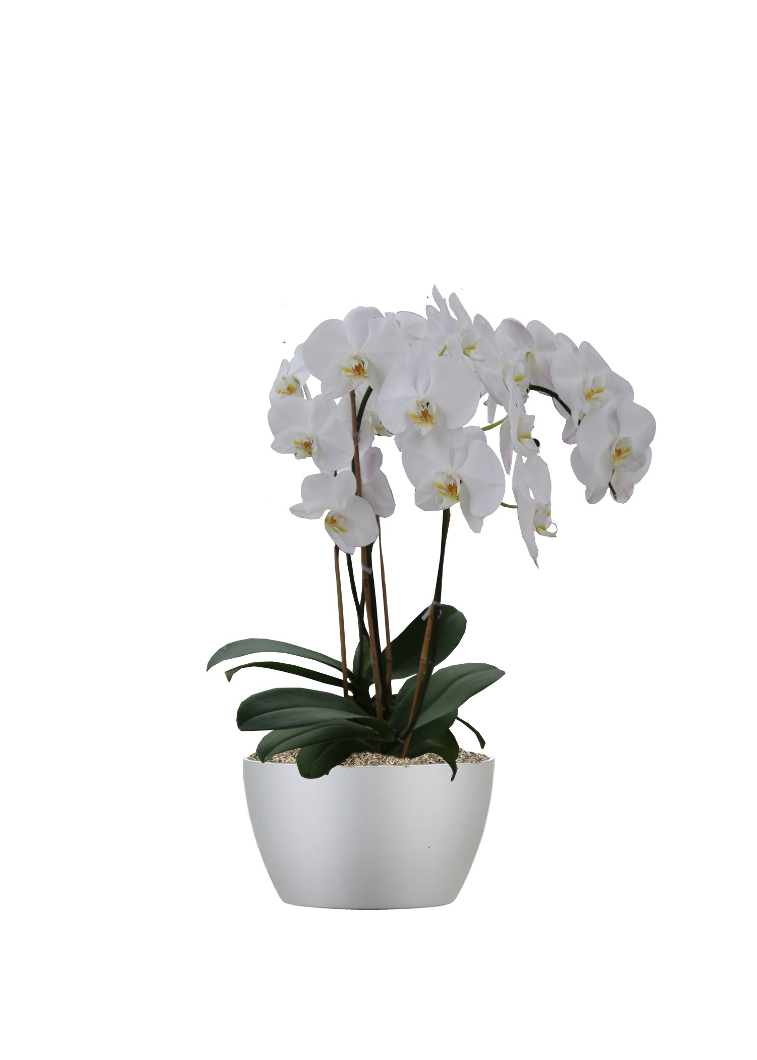 Moth Orchid White