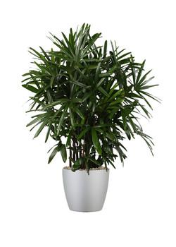 Palm Rhapis 2