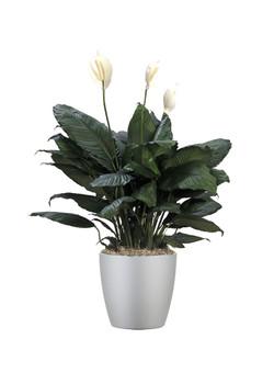 Spathiphyllum Supreme