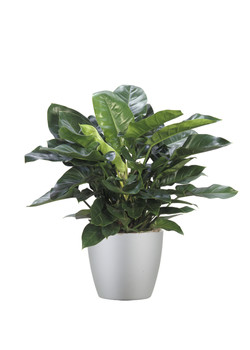 Phiodendron Prince Green