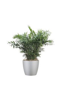 Palm Neanthebella