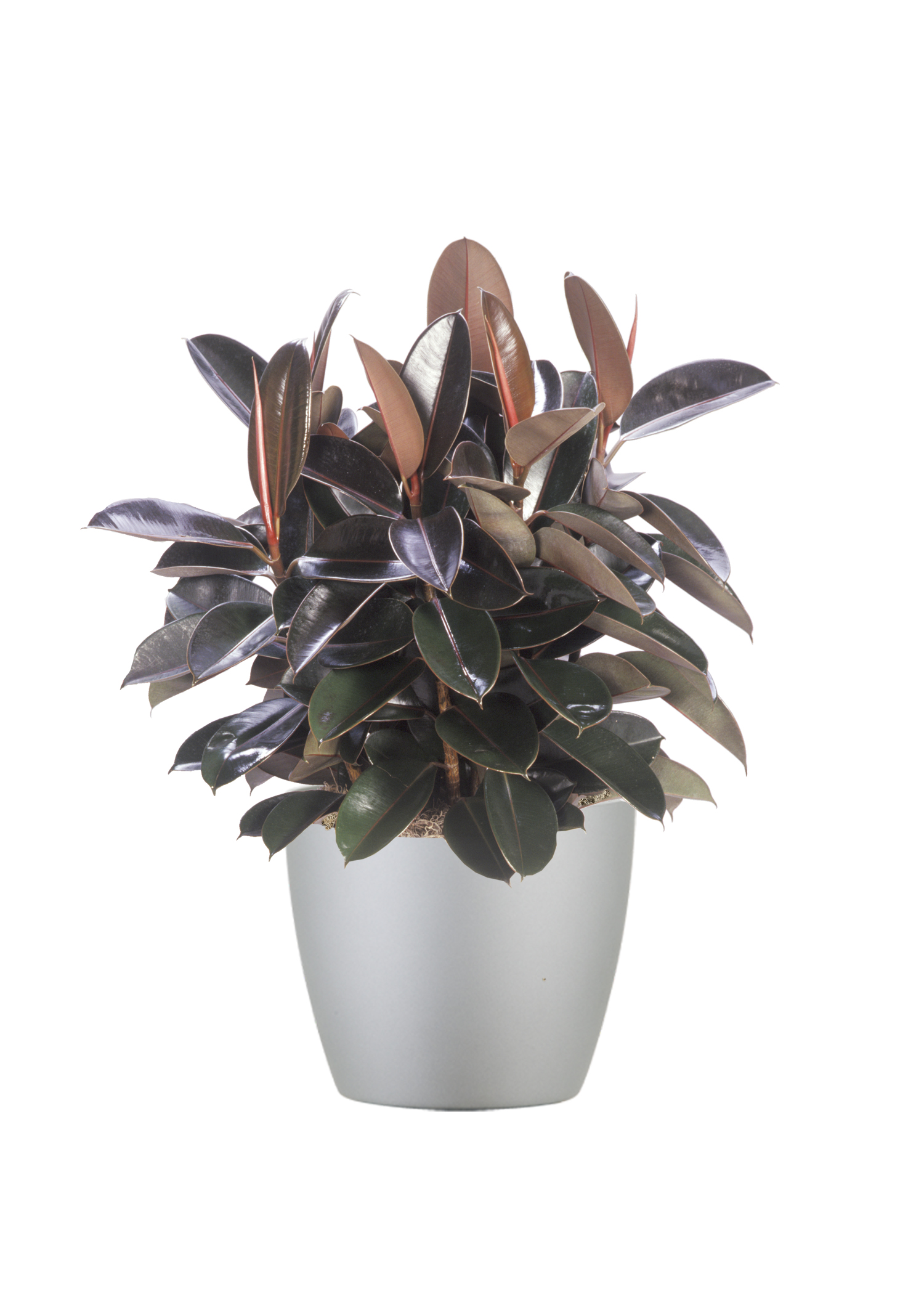 Ficus Decora Burgundy Bush
