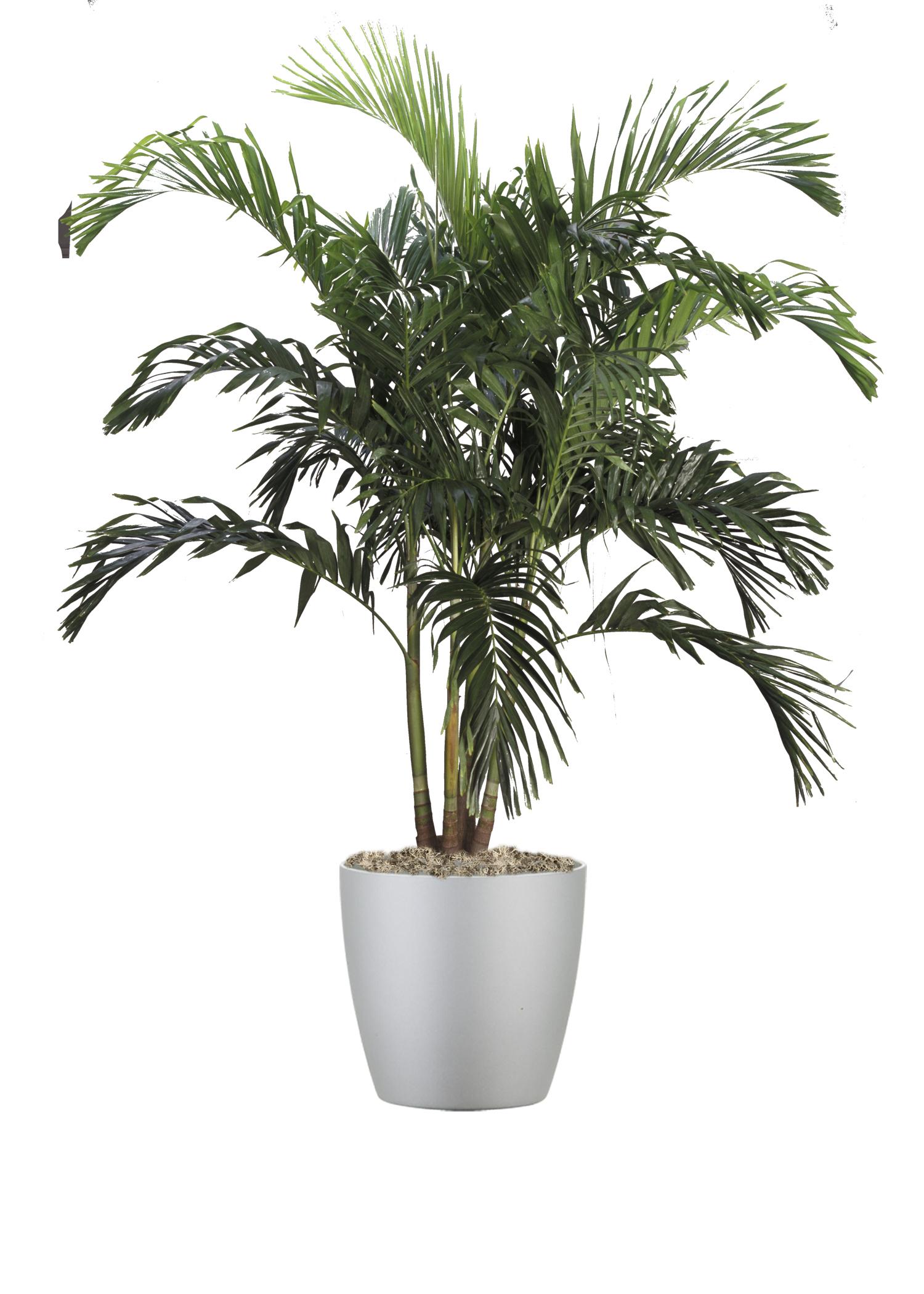 Palm Adonidia