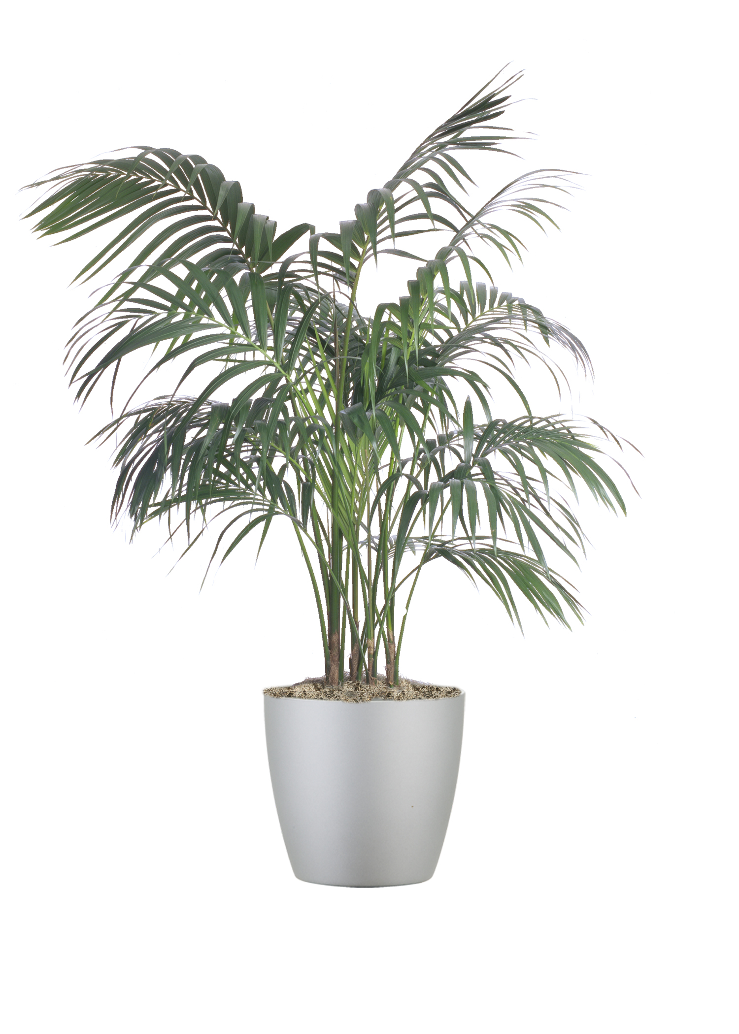 Palm Kentia