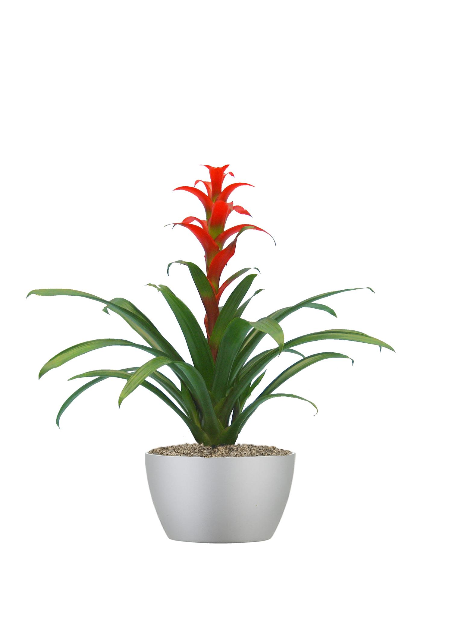 Bromeliad Flame