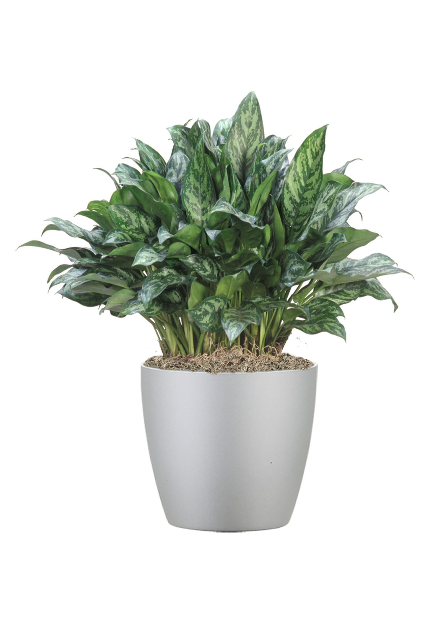 Aglaonema MaryAnn