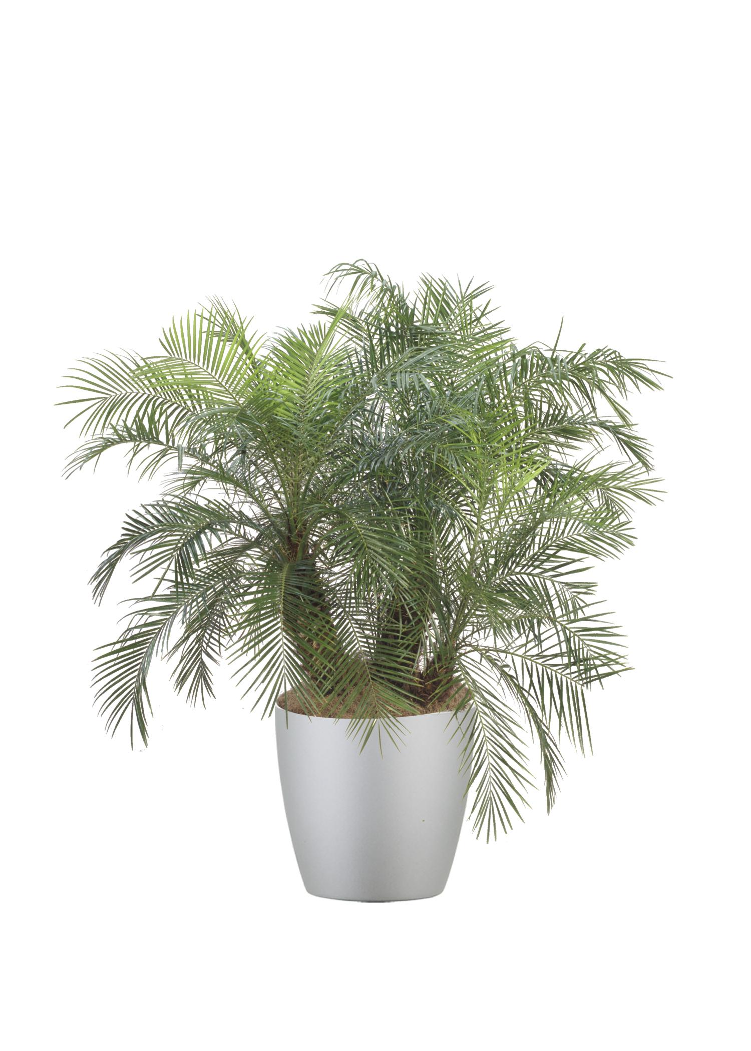 Palm Phoenix Roebellinii