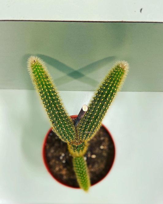 3-pointer: exotic cactus