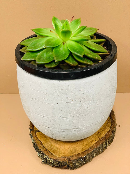 Succulent 3 (Potted)