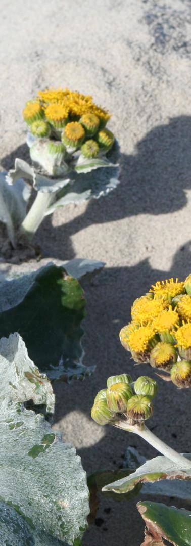 Sea Lion Island Flowers