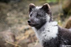 Blijdorp Wolf