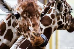 Blijdorp Giraffe