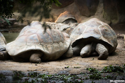 Blijdorp Galapagos Schildpad