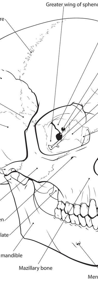 Skull Line Illustration