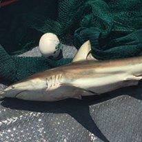 Nice Big Shark caught on Charter