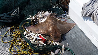 North Myrtle Fishing Charter Catches stingray