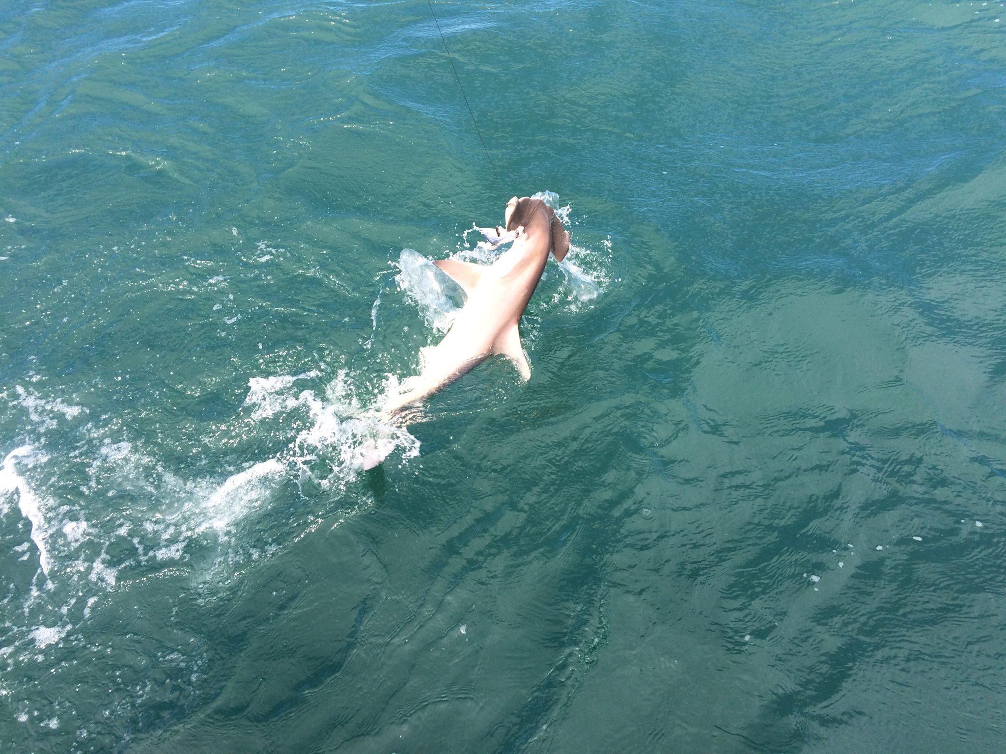 Hammerhead Shark in ocean swimming