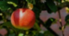 apple-tree-429213_1920_edited_edited.jpg