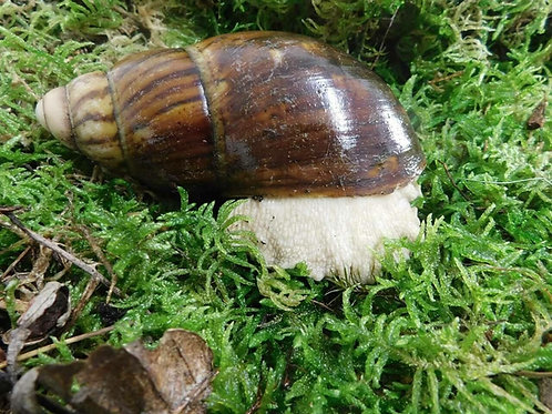 Archachatina marginata ovum ( Albino Body )