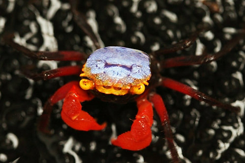 Geosesarma Rouxi Blue Carneval Crab  ab6,95€