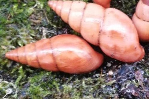 Limicolari sp. orange