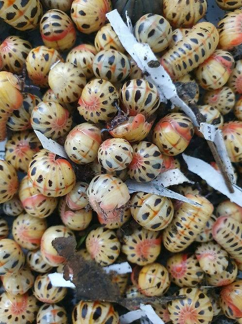 Rhopalomeris cf. Carnifex Candy Pill Millipedes