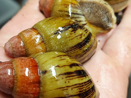 Archachatina Knorrii