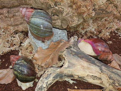 Archachatina purpurea
