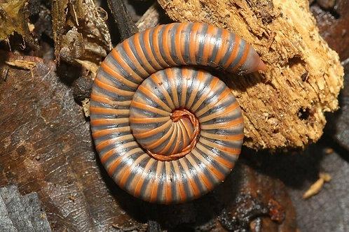 Atopochetus spinimargo