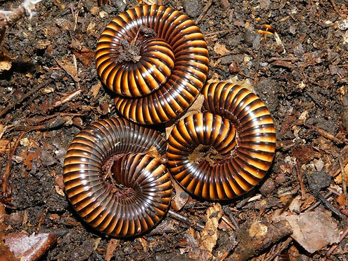 Pelmatojulus Ligulatus Gruppe 10 Tiere