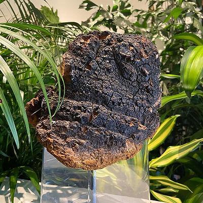 Lars- our Chaga mushroom @planttherapysf