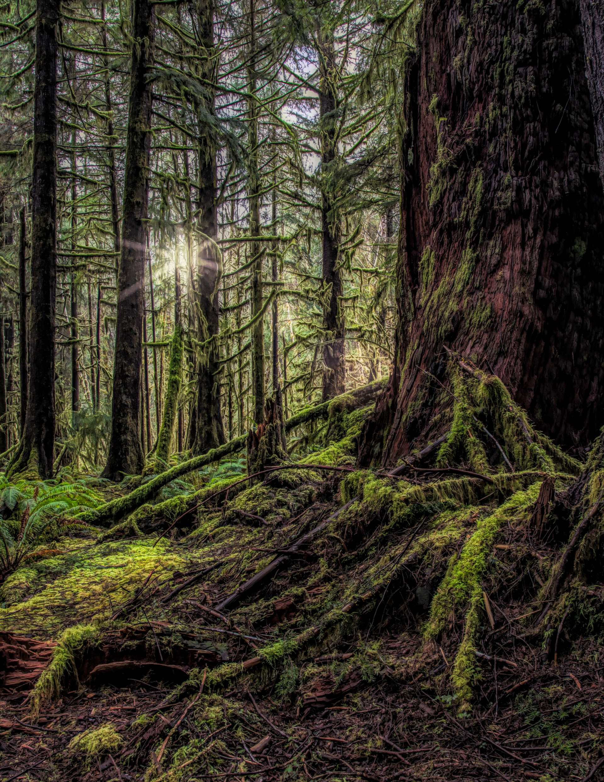 Daybreak, Rainforest Olympic Peninsula, WA