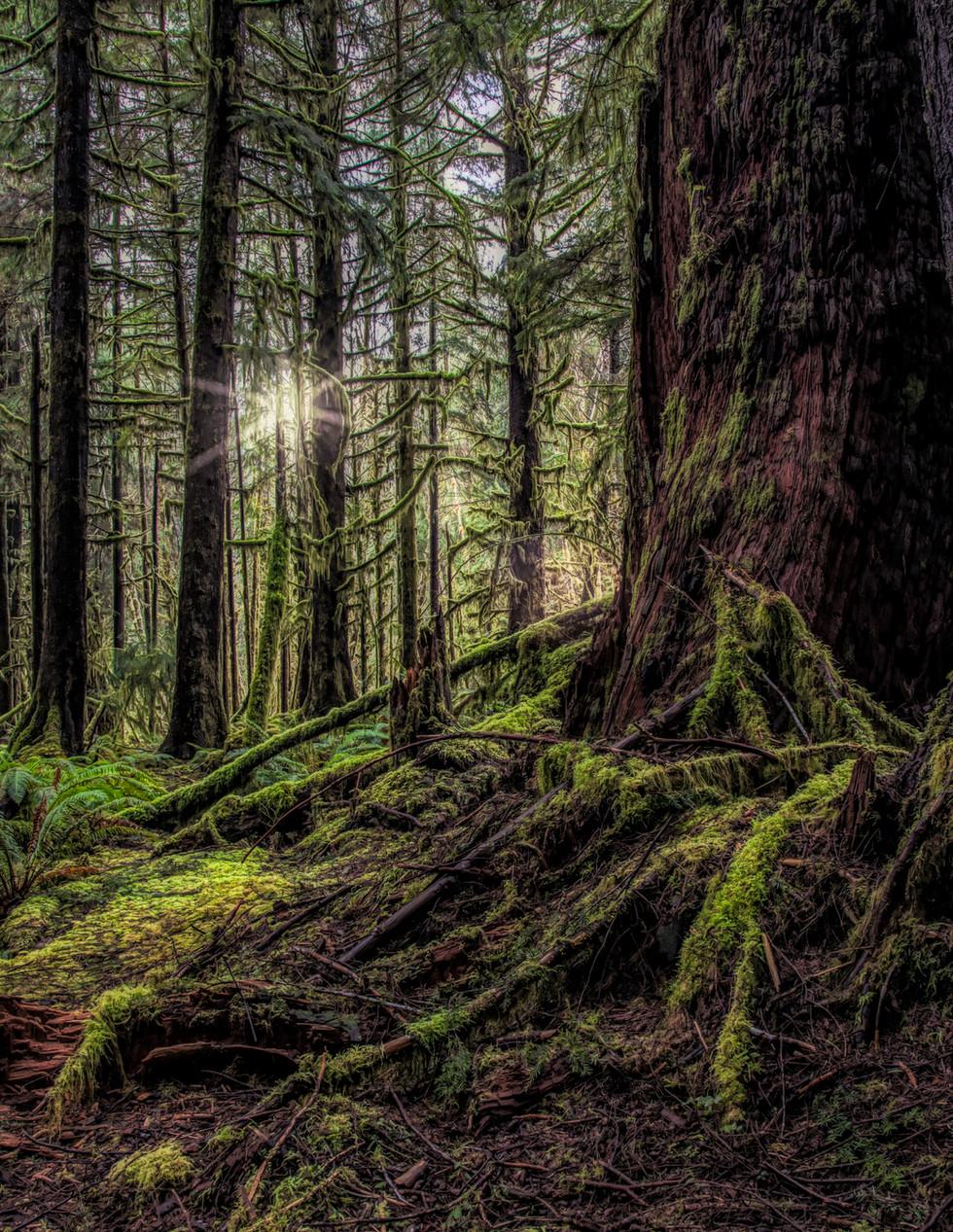 Daybreak, Rainforest Olympic Peninsula, WA