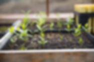 Seedlings from a Young Living greenhouse