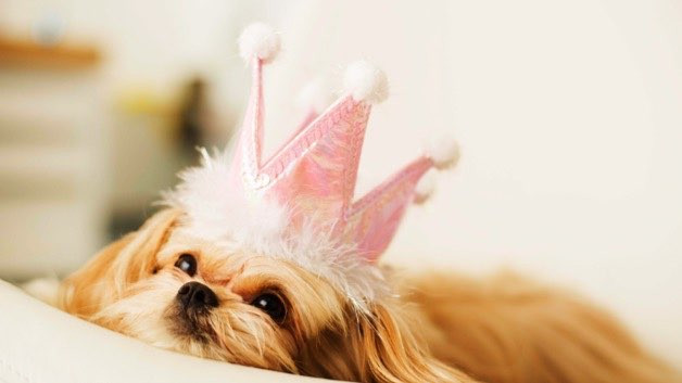 Cute, small dog with a pink princess crown