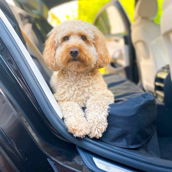 A cockapoo sitting on a kurgo car seat cover in a BMW car