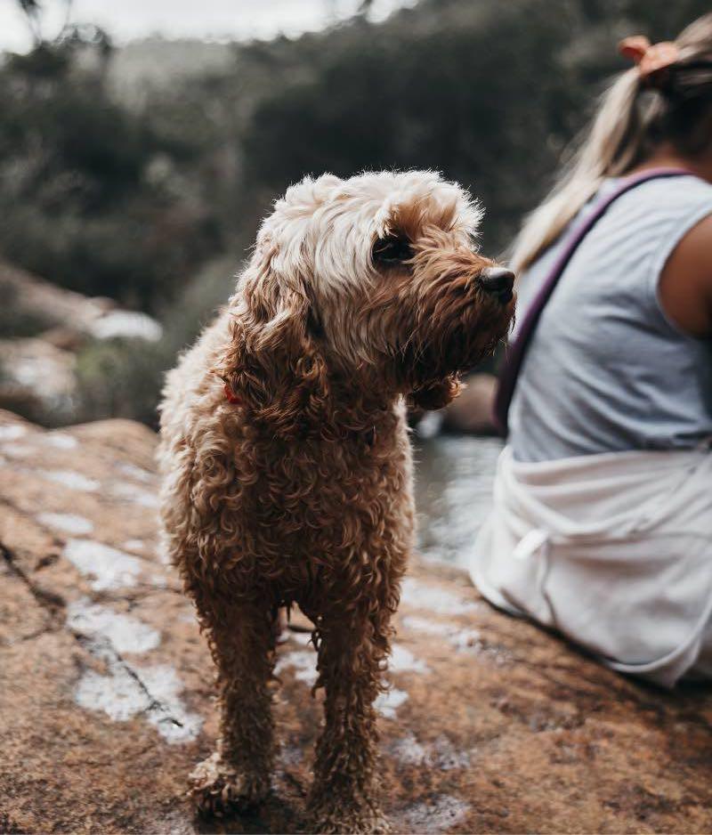 Freddie cockapoo on a dog walk