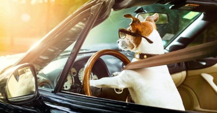 Dog driving a car wearing seatbelt and glasses