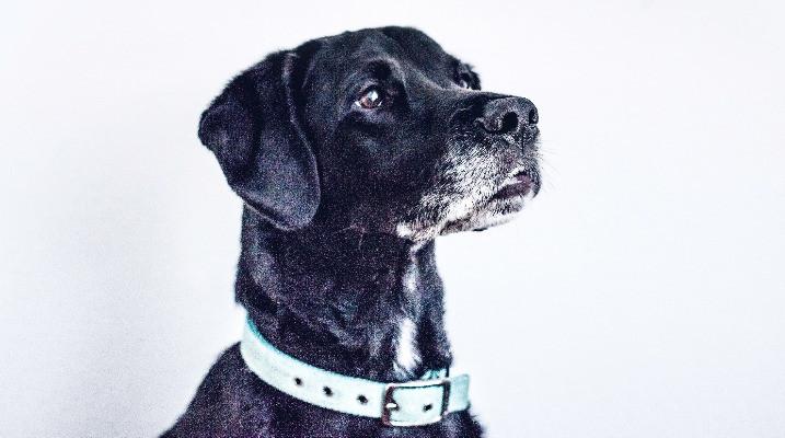 Old black labrador with grey muzzle
