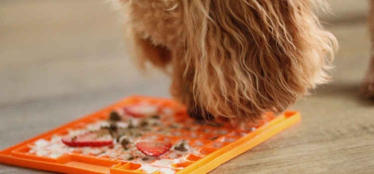 Cockapoo with an orange Licky mat Playdate