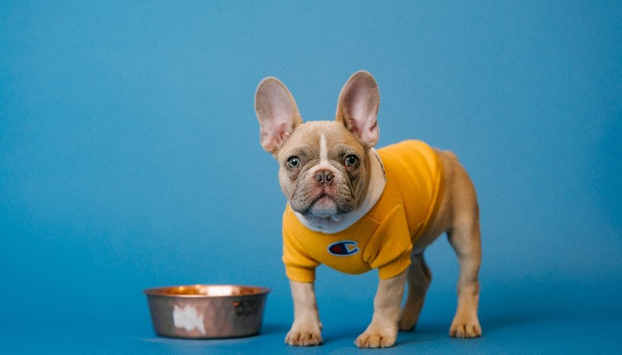 french bull dog in a yellow jumper with food
