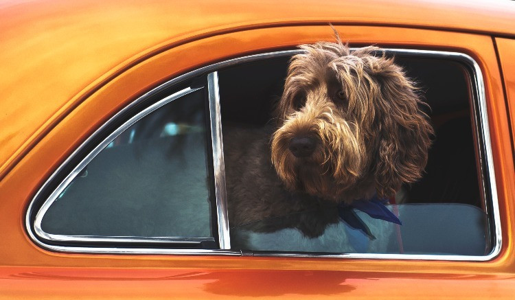 Cockapoo looking out car window