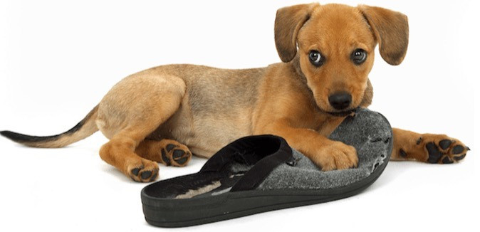 dog chewing a slipper