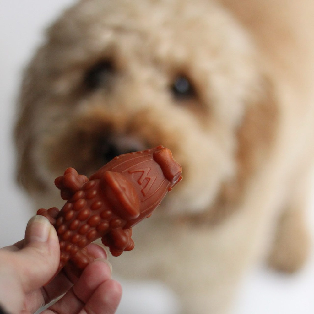 Cockapoo looking at an alligator shaped Whimzee dog chew